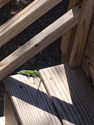 lizard finds sliver on sunlight on deck