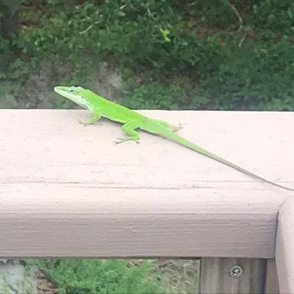 lizard on railing